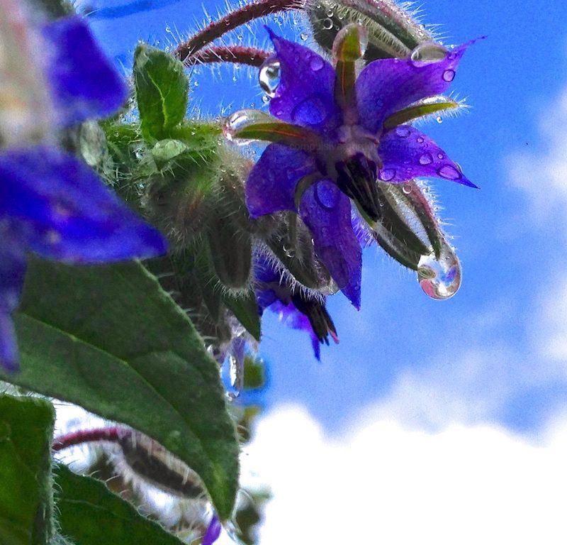 Dewdrops on blue borage flower