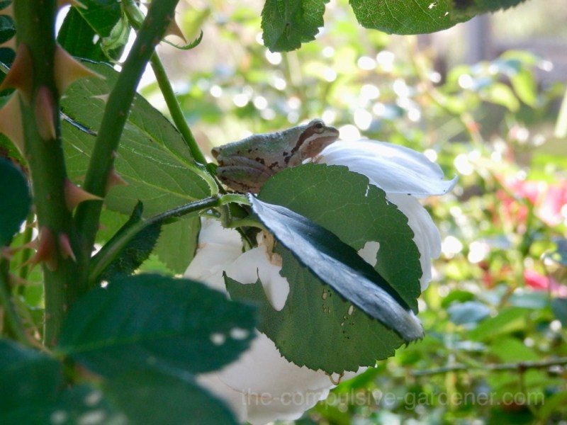 Tree frog perched on white rose