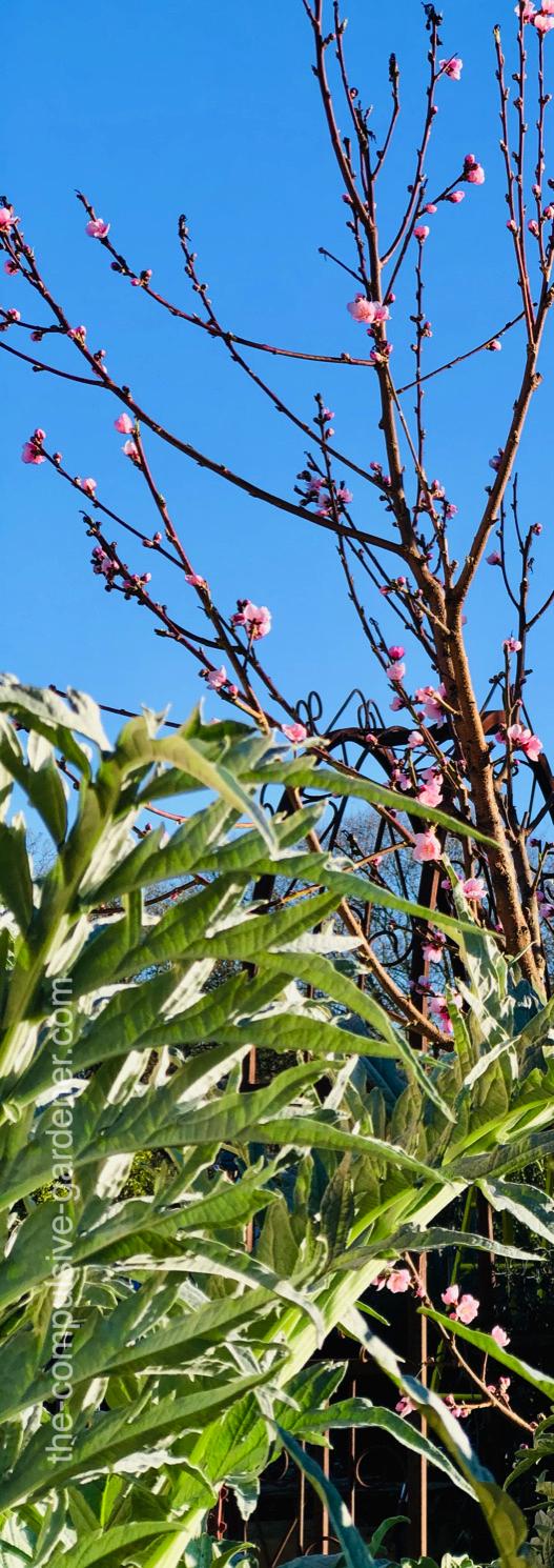 Nectarine flower buds and artichoke