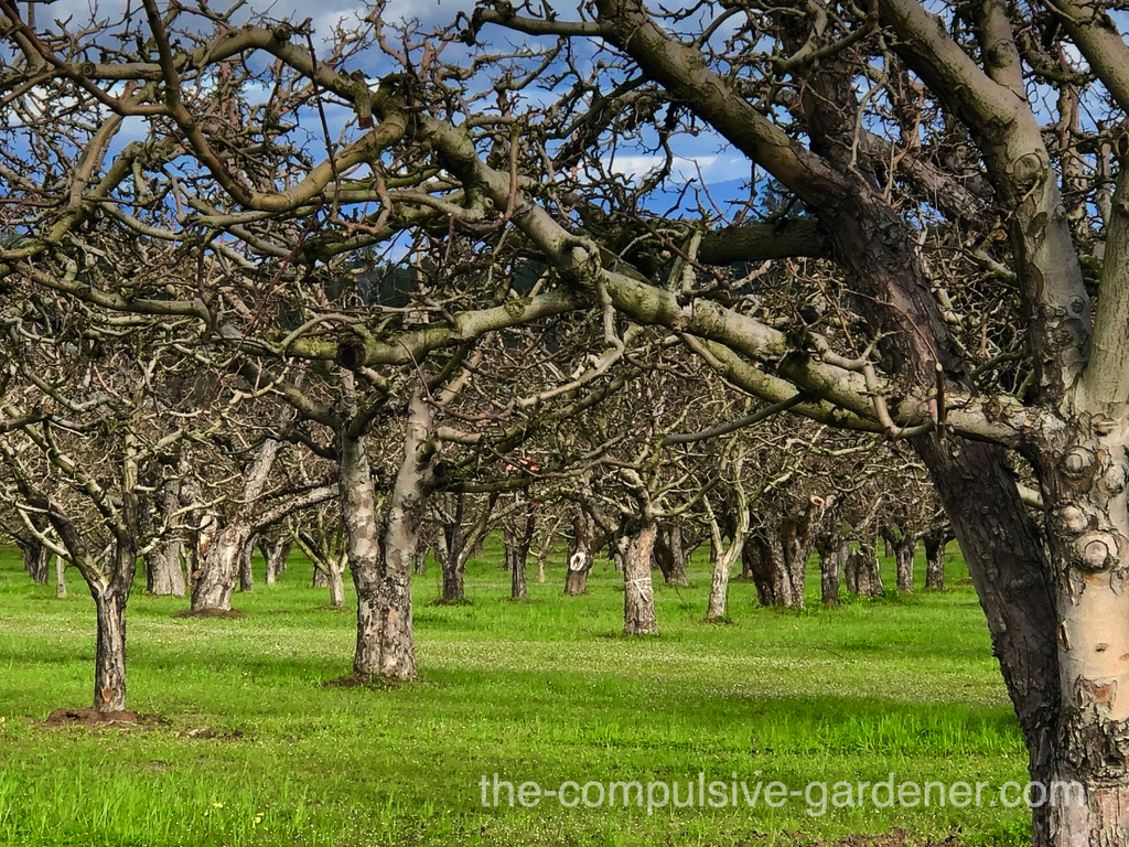 A beautiful old apple orchard in Sonoma County, CA. Before apples, it was prunes. Nowadays it's vineyards.