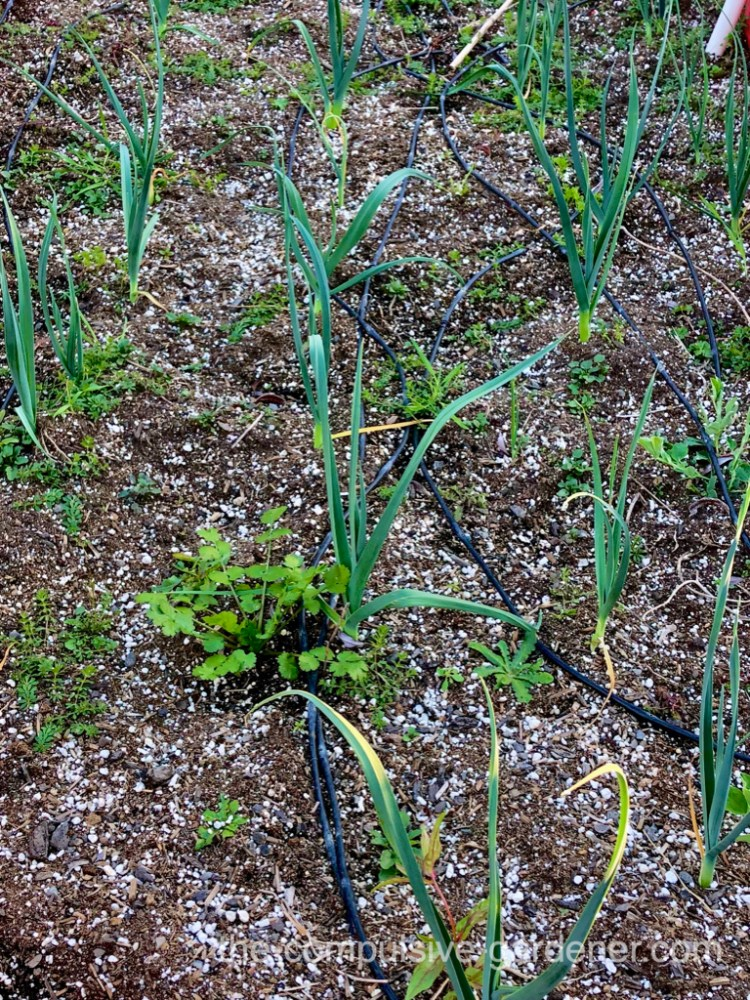 This leek bed could also use some weeding. A stray coriander and other volunteers self-seeded from last year.