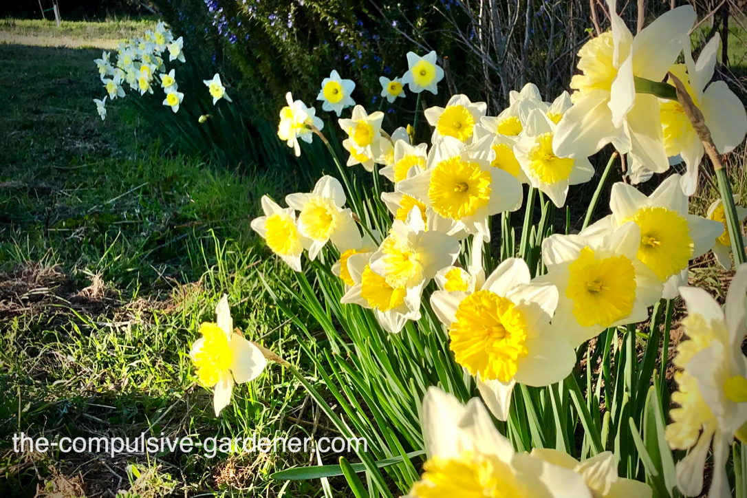 Daffodils and rosemary--a drought-tolerant and gopher-resistant combo