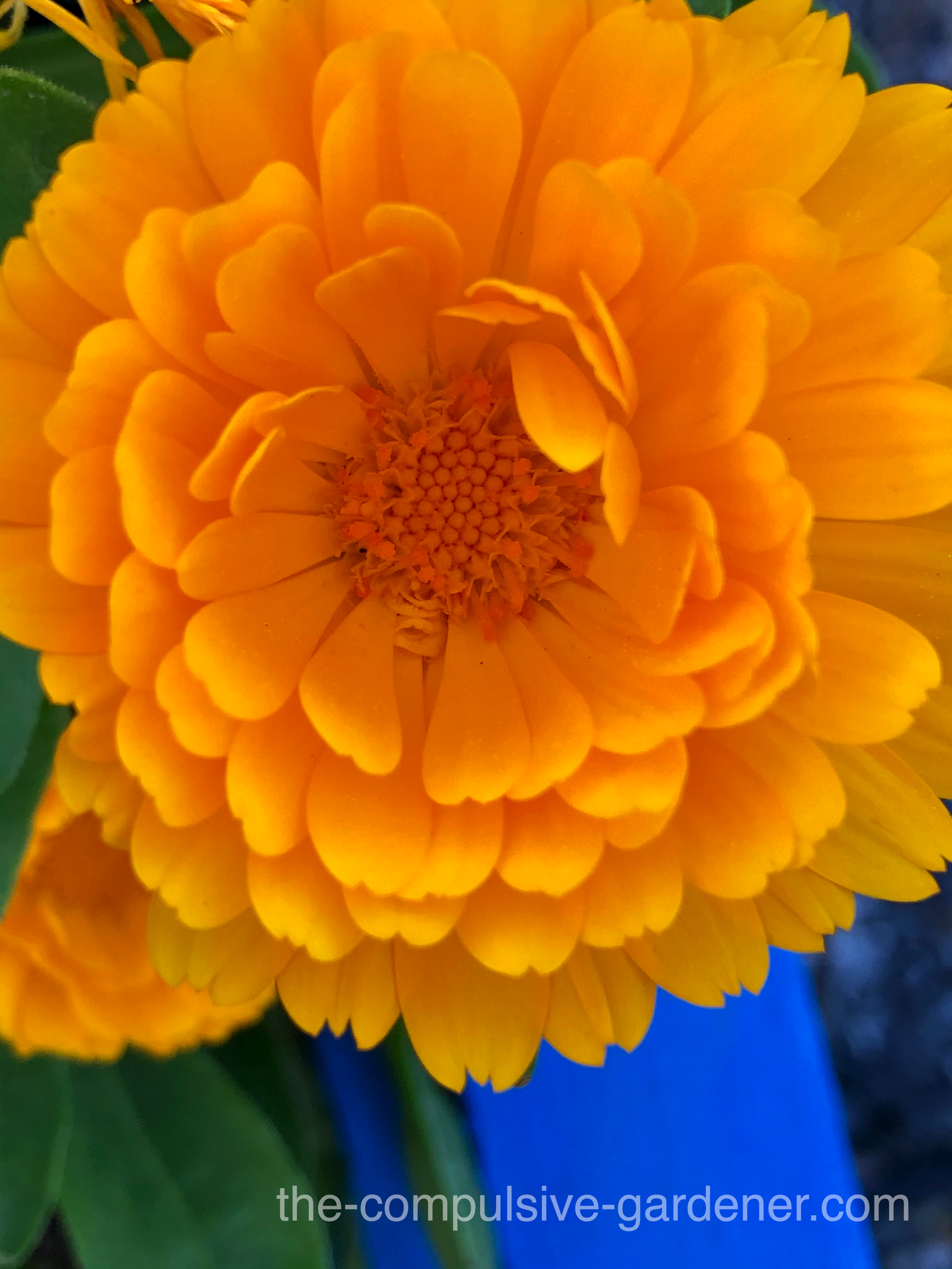 Calendula flowers provide a saturated orange burst of color to the garden. The petals are edible and have other uses as well.