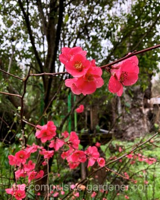 Red flowering quince provides welcome color in early spring and great source for cut flower bouquets from the garden.