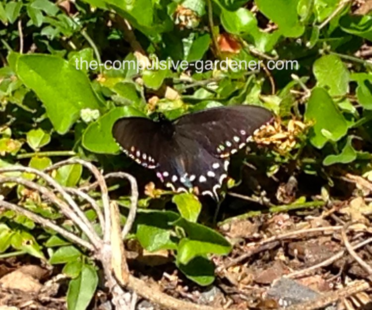 Pipevine Swallowtail Butterfly | Battus philenor -- a beautiful large black butterfly.