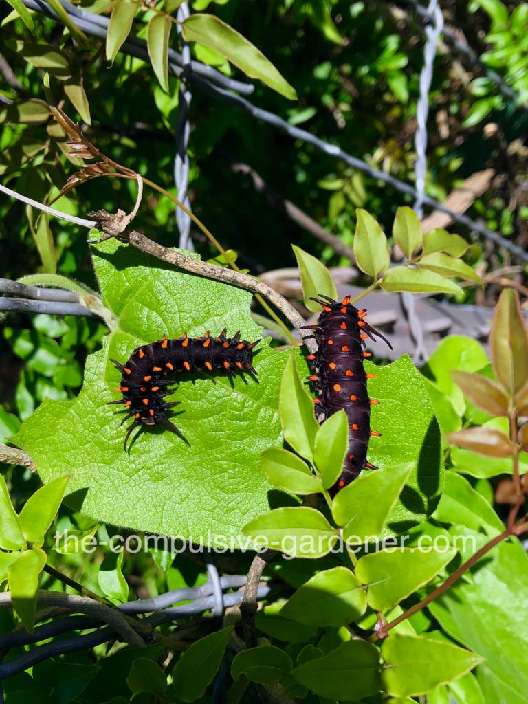 Pipevine Swallowtail caterpillars eating aristolochia vine aka Dutchman's Pipe vine