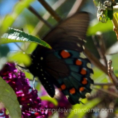 Pipevine Swallowtail Butterfly on buddleia blossom