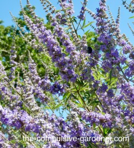 Bees love vitex agnus-castus, and gophers don't seem to. (But I plant mine in gopher baskets anyway. Why risk it?)