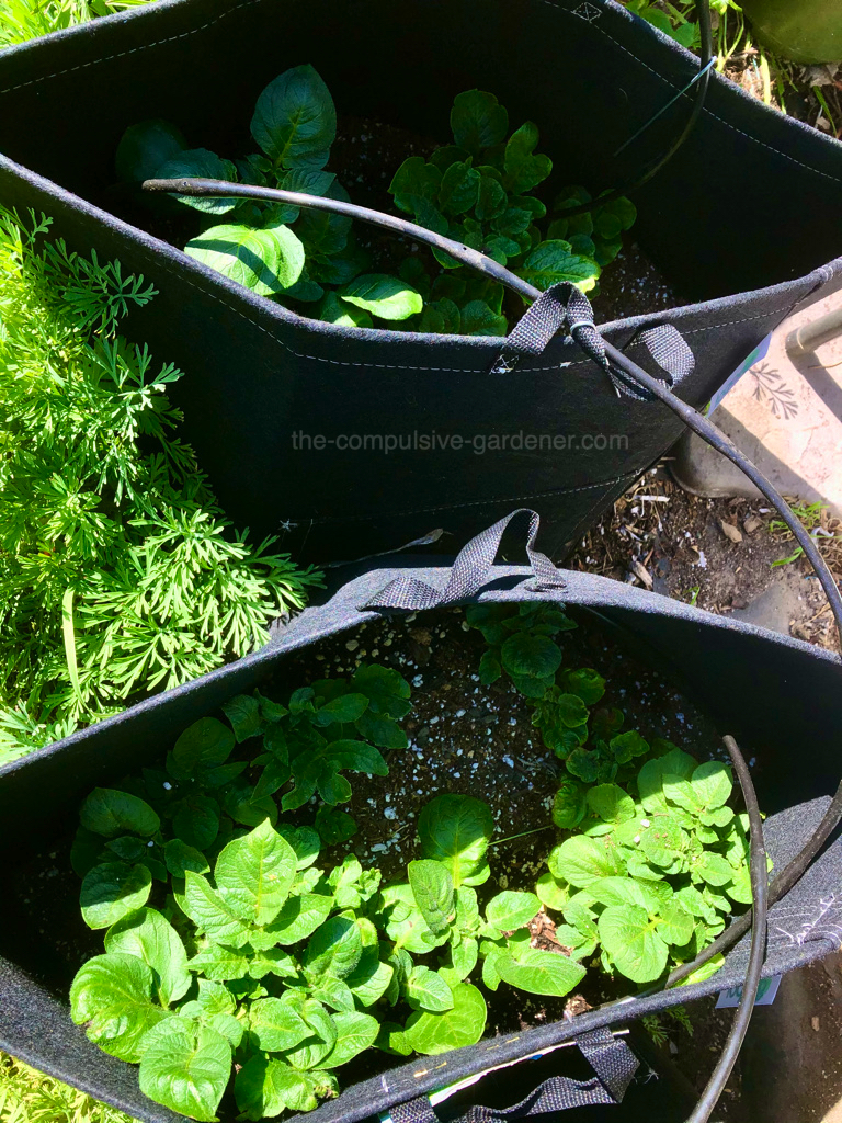This year we are trying out grow bags for growing potatoes.