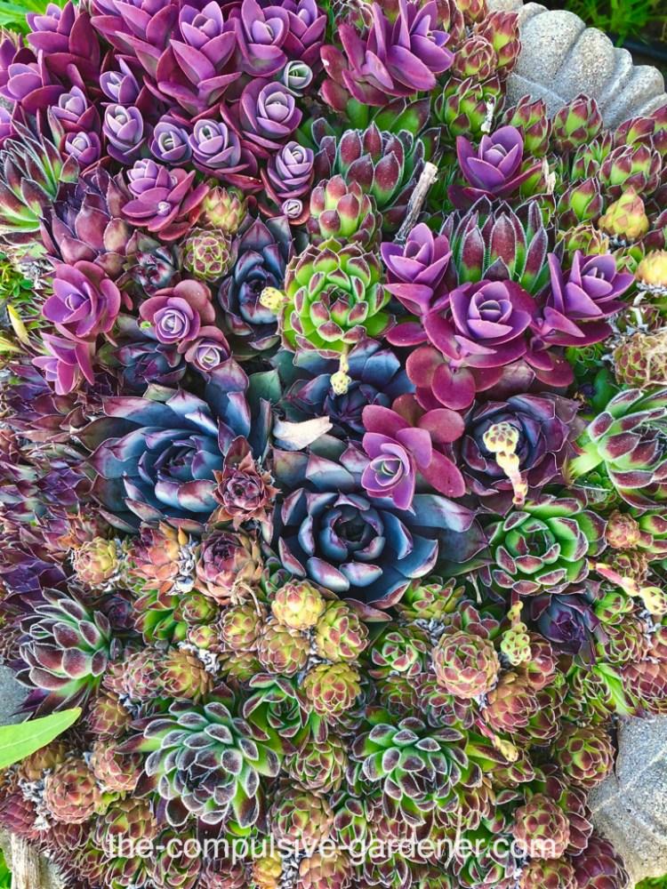 Succulents in pot