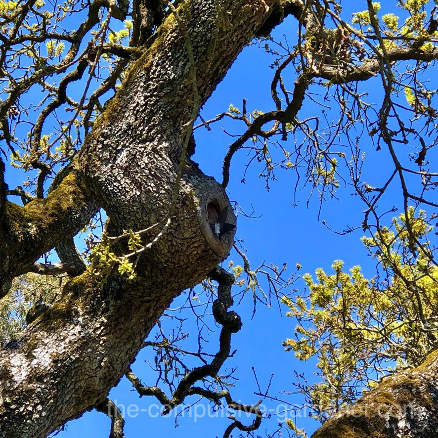 Swallow nesting in old oak tree