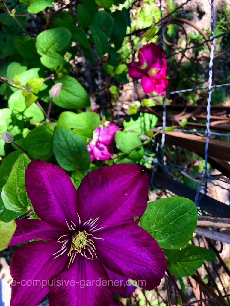 I'm always delighted how well clematis does here. It seems like such a fragile plant but grows well here despite the sandy soil and dry summers.