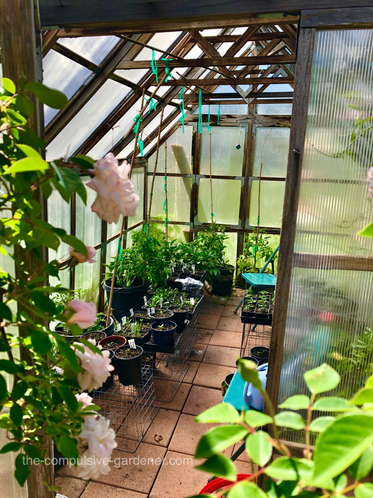 The greenhouse in May--still a few lingering seedlings plus some tomatoes I'm going to keep there through the summer.