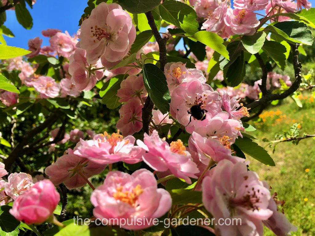 Flowering Crabapple with bumblebee