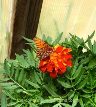 Gulf Fritillary butterfly on marigold