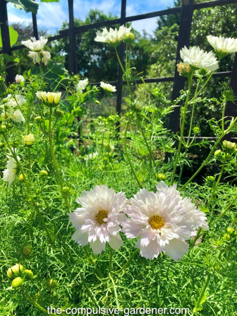 Cosmos in white variety