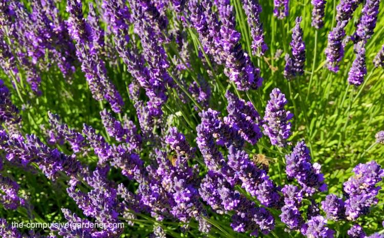 Lavender with honeybees