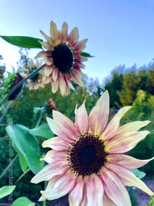 Pastel Sunflowers at Dusk