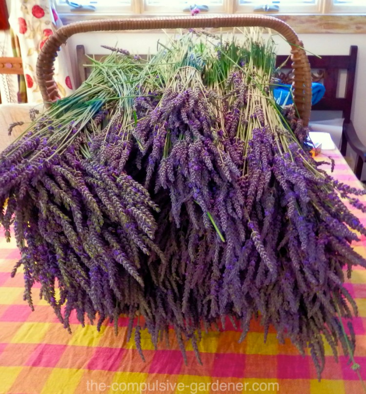 Harvest basket with field cut lavender