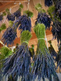Lavender bunches hanging to dry