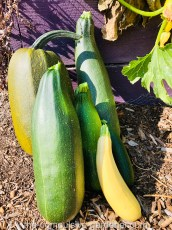 Mega zucchini