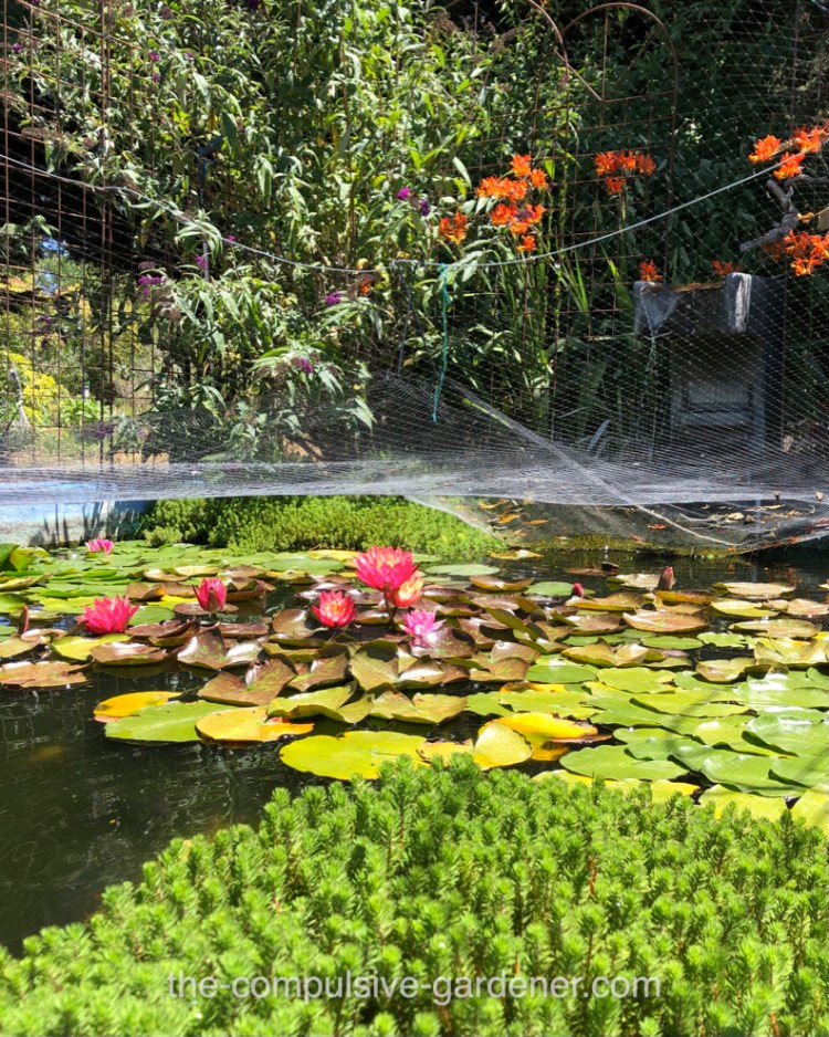 Koi pond with water lillies and fountain--protected from predators by pond netting.