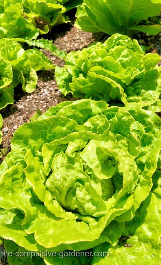 Buttercrunch lettuce is my top pick