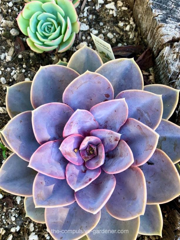Purple Echeveria