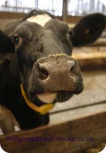 Yeo Valley cow