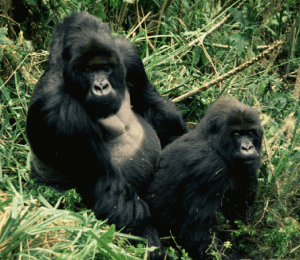 Image credit: Prof. Dick Byrne. Caption: Gorillas secretly copulating out of the alpha male's sight.