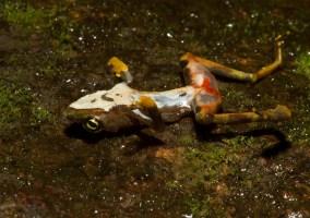 A deceased Atelopus limosus frog showing symptoms of Batrachochytrium dendrobatidis (Bd). Image credit: Brian Gratwicke via Flickr (License)