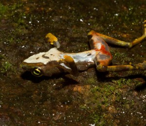 A deceased Atelopus limosus frog showing symptoms of Batrachochytrium dendrobatidis (Bd). Image credit: Brian Gratwicke via Flickr (License)