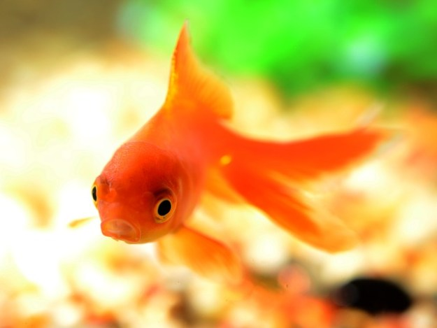 """""""Fish are often subjected to interventions which would be considered 'severe' on the pain scale. While this might seem ruthless, there is much debate as to whether fish are able to perceive pain (as we know it) at all."""" Credit: Endlesswatts via pixabay."""