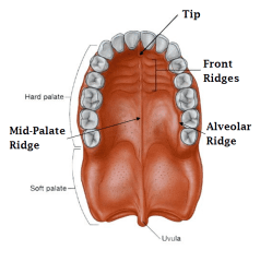 Roof of Mouth / Palate tongue posture mewing