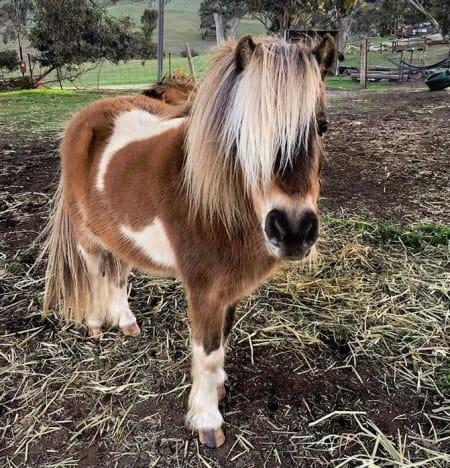 miniature pony 01