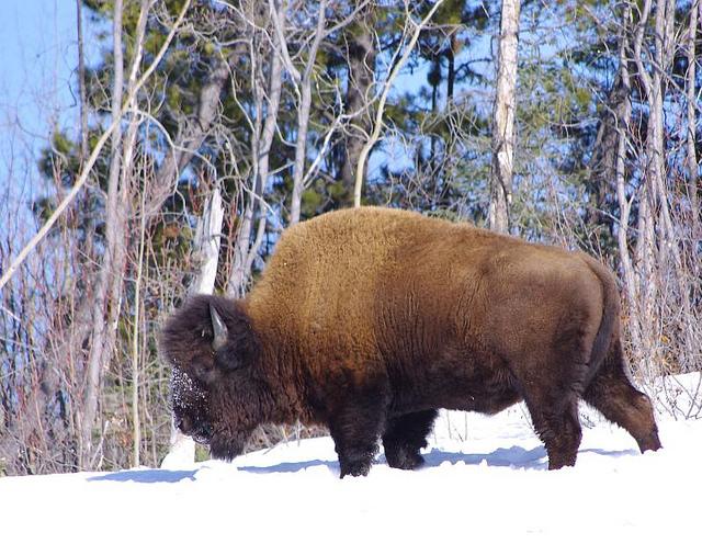 bison-canada-inkline