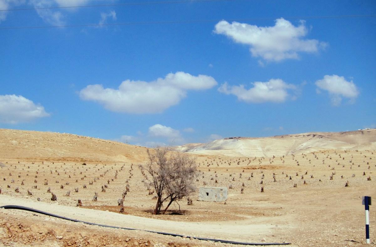 Destroyed Olive Groves.jpg