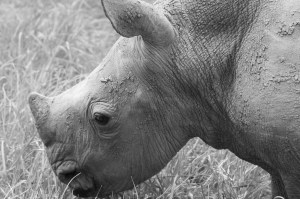 European zoos celebrate  translocation of rhinos to Rwanda