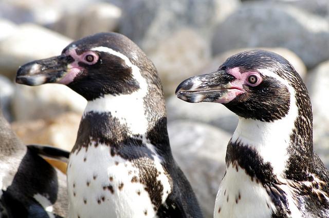 Penguins environment Chile INKLINE