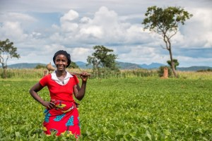 A helping hand of legumes for Africa's farmers