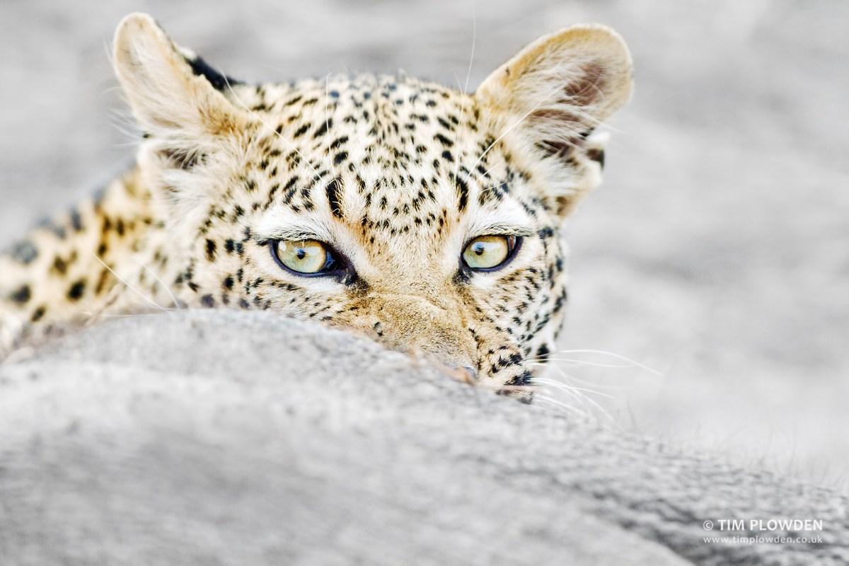 African Leopard - Panthera pardus