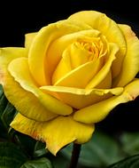 yellow-rose-bouquet-builder-build-your-own-bouquet-florist-london