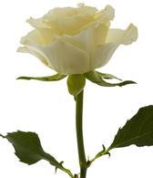 white-rose-bouquet-builder-build-a-bouquet-online-thwe-little-flower-shop