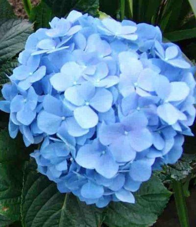bouquet-builder-hydrangea stem_blue hydrangea plant_outdoor plants_plants_hydrangea_plants online_order plants_plant delivery_flower shop_florist-min