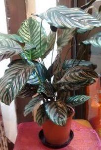 calathea-striped-indoor-plants-house-plants-the-little-flower-shop-florist