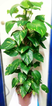 creeper-schindopsis-the-little-flower-shop-florist-london-indoor-plants-house-plants-delivery-uk