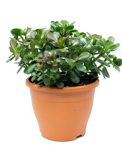MONEY-PLANT-Crassula-ovata-Jade-Plant-THE-LITTLE-FLOWER-SHOP-FLORIST-LONDON-PLANT-SHOP-GARDEN-CENTRE-UK-DELIVERY