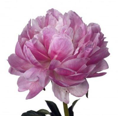 peonies-pink-peonies-white-peonies-bouquet-builder-peony-the-little-flower-shop