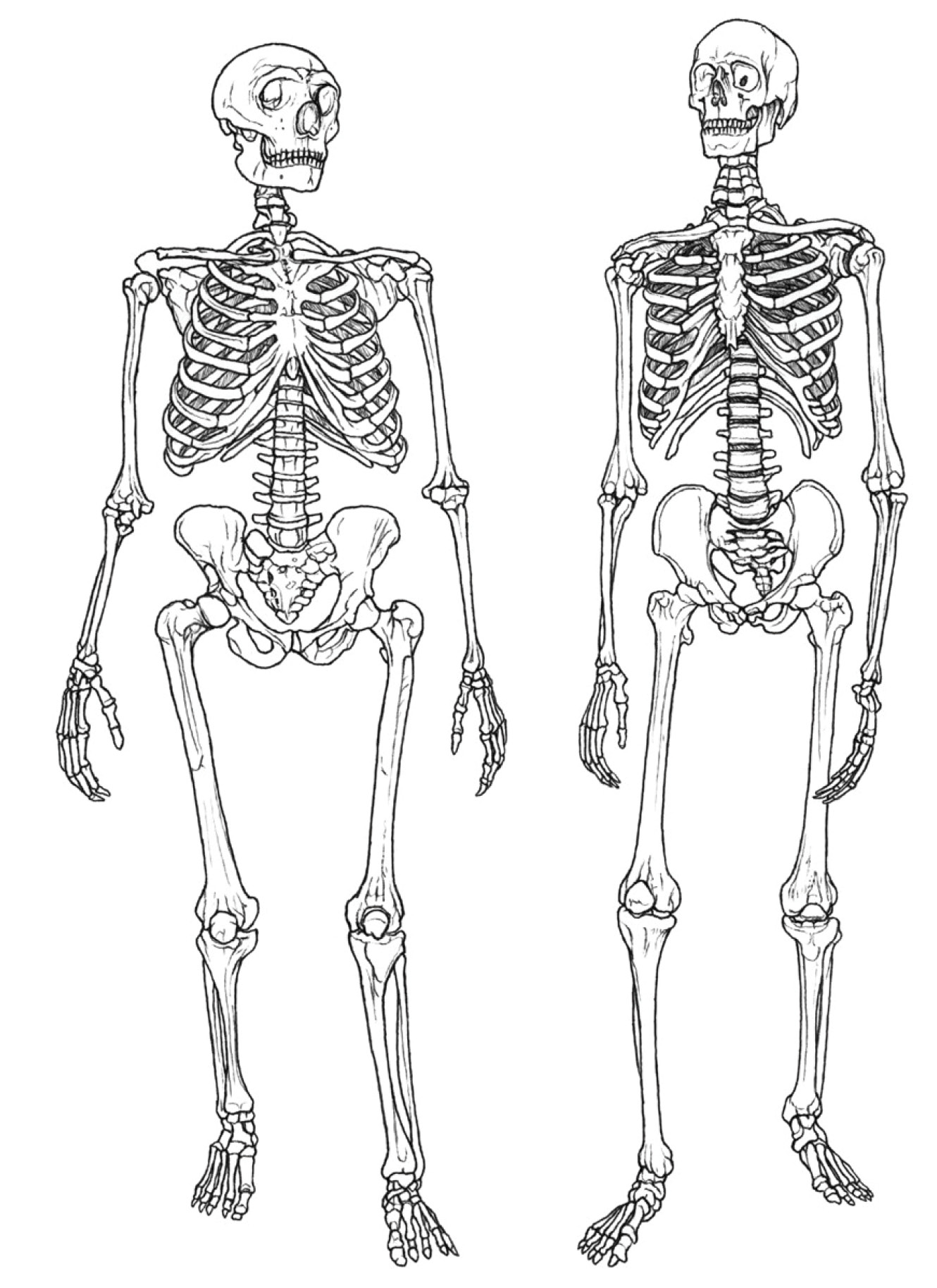 left While Neanderthals and Homo sapiens show clear anatomical differences, DNA analysis confirms that there were multiple episodes of interbreeding between the two hominin subspecies.