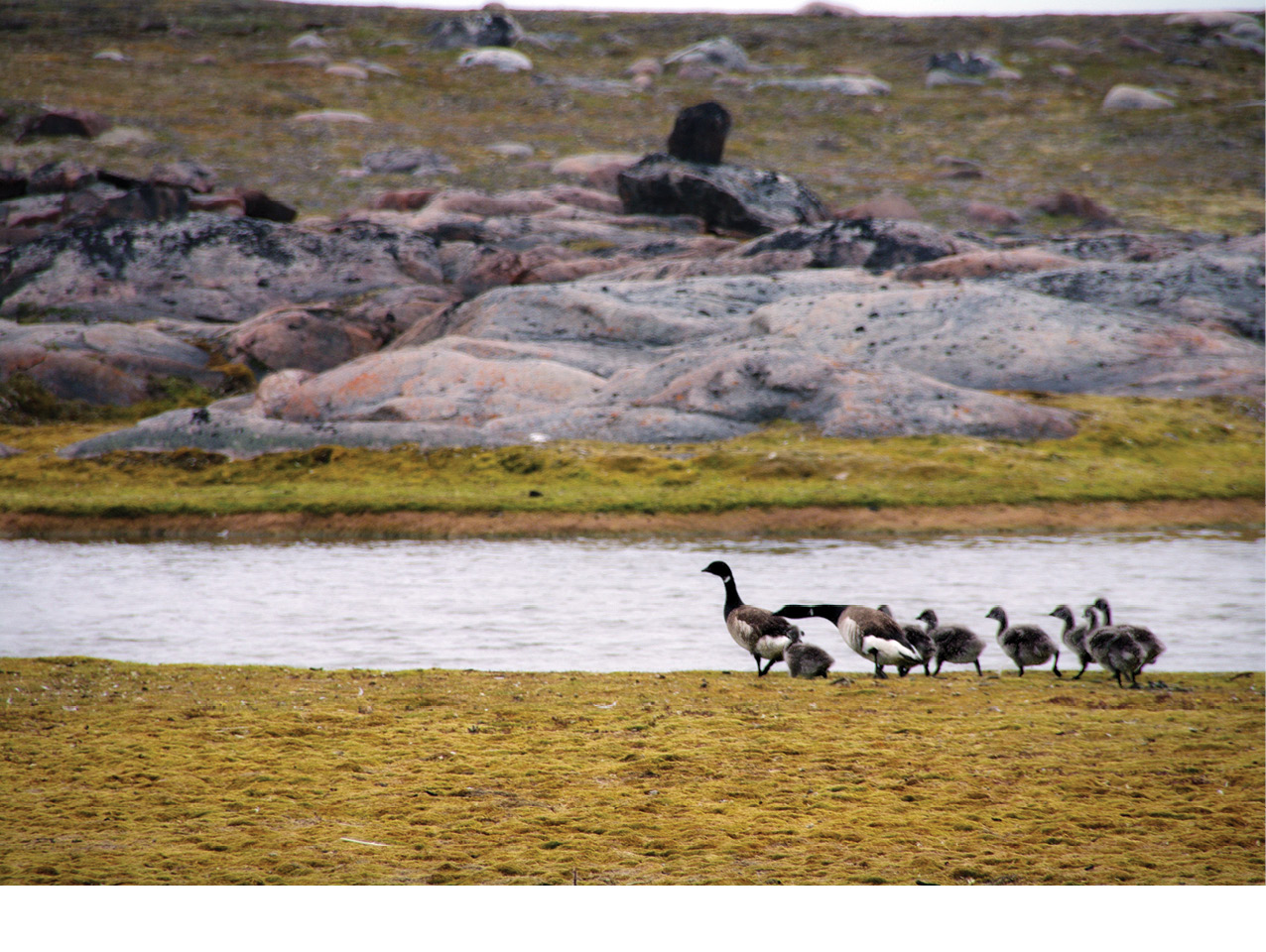above A family of geese run for cover as we walk towards the site. Uglit is well known for the many birds that nest there in the summer, and is a favourite spot for collecting duck eggs.